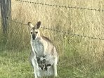 Resident whiptail wallaby and joey. Mob lives on the property.
