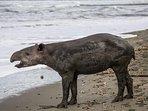 Our Tapir friend at Playa Danta...