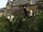 Come and say hello to our pygmy goats, Lilli and Noah!