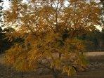 Winter jacaranda tree