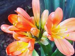 Indigenous flower. One of plenty. Clivia Miniata