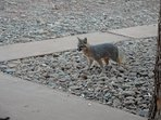 Gray fox, there are eleven of them that regularly eat here.