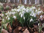 Fowberry Tower (woodland - snowdrops)