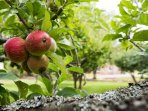 Fowberry organic apples