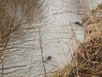 River Till (otters - most shy of our residents)