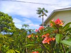 The sweet aroma of Plumeria Blossoms