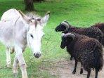 Notre ânesse Zoé et nos moutons