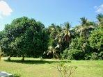 Mango tree at MANGO PARC :-)