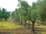 A view of the olive groves that the property looks out onto.