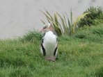 Observe yellow-eyed penguins come ashore on nearly beaches