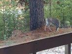 Deer off the back deck