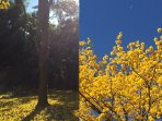 A corteza tree blossoming