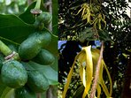 Ylang-ylang trees sending magnificent fragrances all over the place