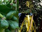 Ylang-Ylang tree, the base of a Chanel perfume, sending fragrances over the gardens