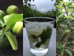 A caipirinha with lime from the gardens