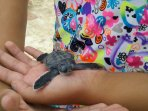 Baby turtle newly hatched on Seven Mile Beach.