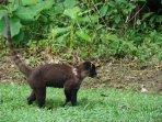 A coati wandering around