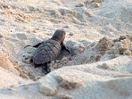 You might get lucky and come across turtles hatching and scurrying to the sea