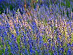 All the plants are photographed in the garden of Ville Lido.Lavender.