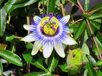 Passiflora.A medicinal plant that grows in the Ville Lido garden.