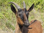 The symbol of Istria is a goat.