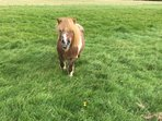 one of our 3 Shetland ponies situated in the back field