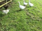 Geese and chickens