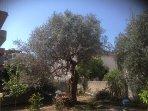 Ulivo secolare nel giardino