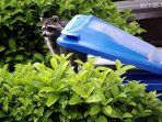 The loal racoon likes to help with the recycling. Don't let him!