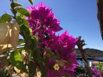 Our bougainvillea