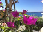 Another of our bougainvillea.