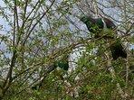 Kereru (wood pigeons) in the back garden