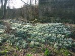 In February, the woods around the Pele Tower are full of snowdrops
