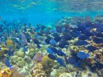 Swim out 50 ft to see blue tangs and incredible reef life!