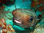 Friendly Porcupine Fish