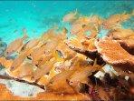 Grunts Schooling near Coral