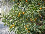 Hermitage Hideaway Cottage Pokolbin Hunter Valley- Kumquats are one of our different fruits tree.