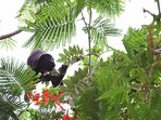 Howler Monkeys in the trees at Casa de Luz