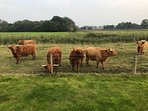 Countryside. Friendly Highland Cattle on Farmers Land at the back of the Bungalow