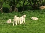 Lambs playing in the fields, Birchover
