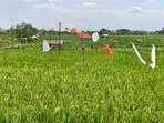There are many rice fields in the area with magic green colors