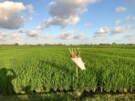 Rent a motorbike 5 meters from the Villa and take a tour through the paddy fields