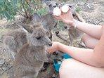 Bottle feed orphaned joeys