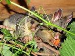 Released Mum & Bub Possum