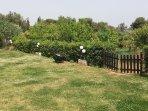 Front yard leading to orange, olive, fig tree garden!