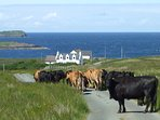 Traffic jam at rush hour on the lane down to beautiful Kilmaluag Bay. A great fishing spot.