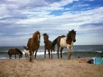 Assateague National Park is only a 30 minute drive from the house. Wild horses roam free