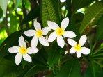 Paniolo Greens Resort flowers