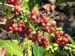 Rainbow Ohana is a working coffee farm