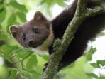 A pine marten in the grounds of Mingarry Lodges